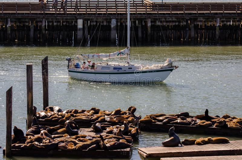 Морские львы загорают на пристани 39 в Сан-Франциско стоковое фото rf