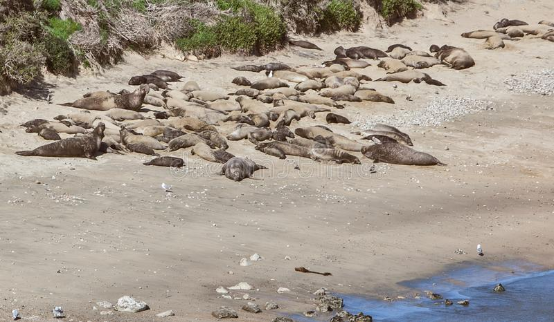 Морские львы кладя на солнце пляжа стоковое фото rf