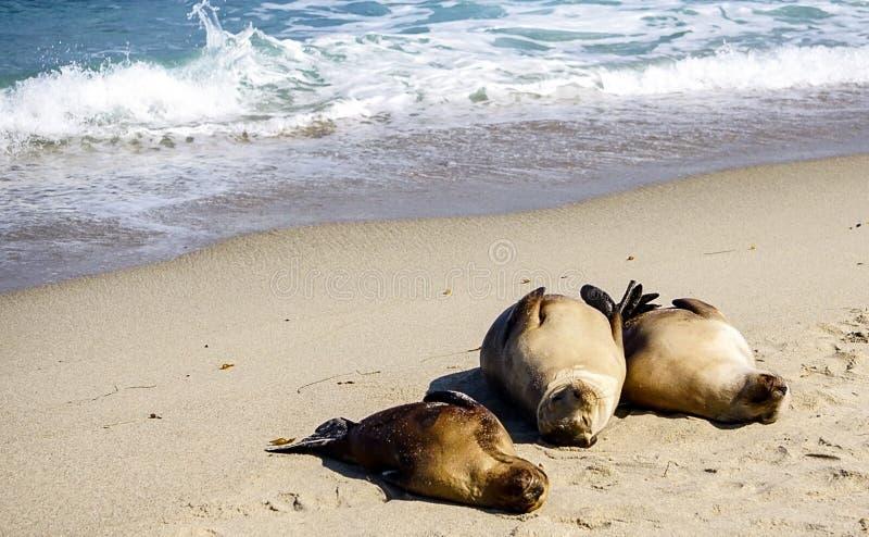 Морские львы на побережье стоковое фото rf