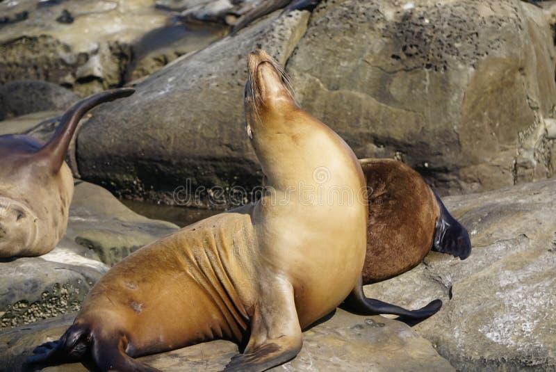 Морские львы на побережье стоковые фотографии rf