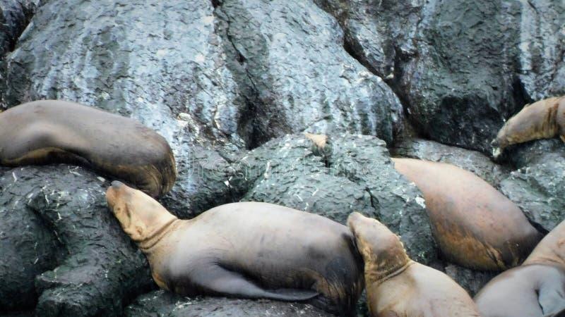 Морские млекопитающие на Аляске стоковые изображения