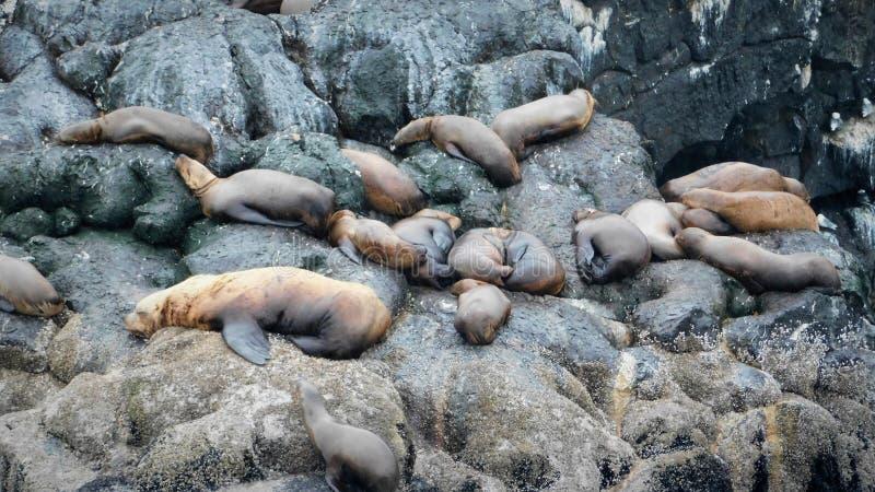 Морские млекопитающие на Аляске стоковые изображения rf