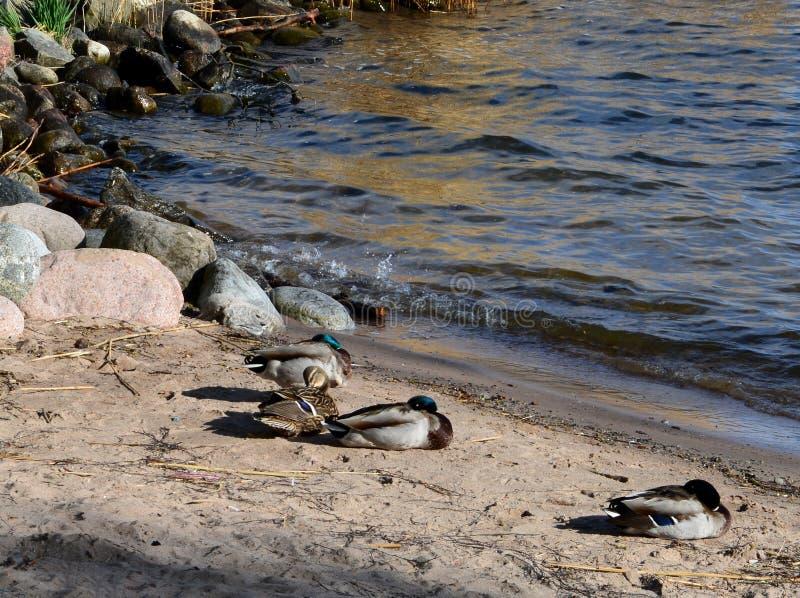 Морские птицы на пляже в весеннем времени стоковое изображение rf