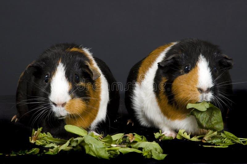 морские свинки 2 стоковое изображение rf