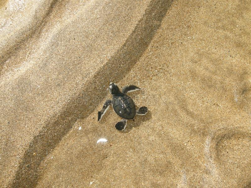 Морские черепахи зеленого цвета Hatchling на пляже стоковые фотографии rf