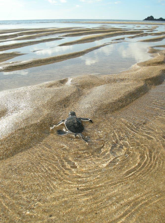 Морские черепахи зеленого цвета Hatchling на пляже стоковое фото rf
