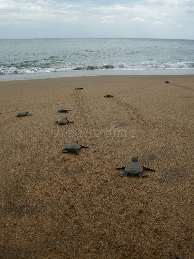 Морские черепахи зеленого цвета Hatchling на пляже стоковое изображение