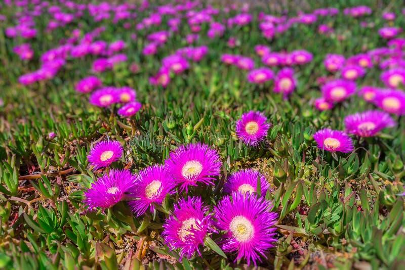 Морское побережье цветков Португалии Весна в Алгарве стоковая фотография rf