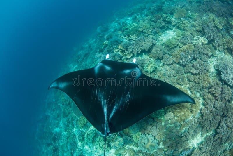 Морской дьявол и коралловый риф в радже Ampat стоковое фото