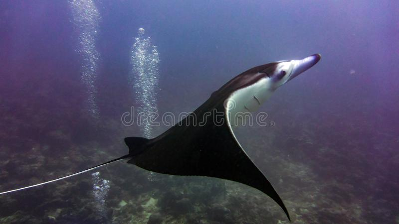 Морской дьявол летая над рифом, Мальдивы стоковое фото