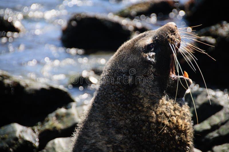Морской котик на Godthul стоковое фото rf