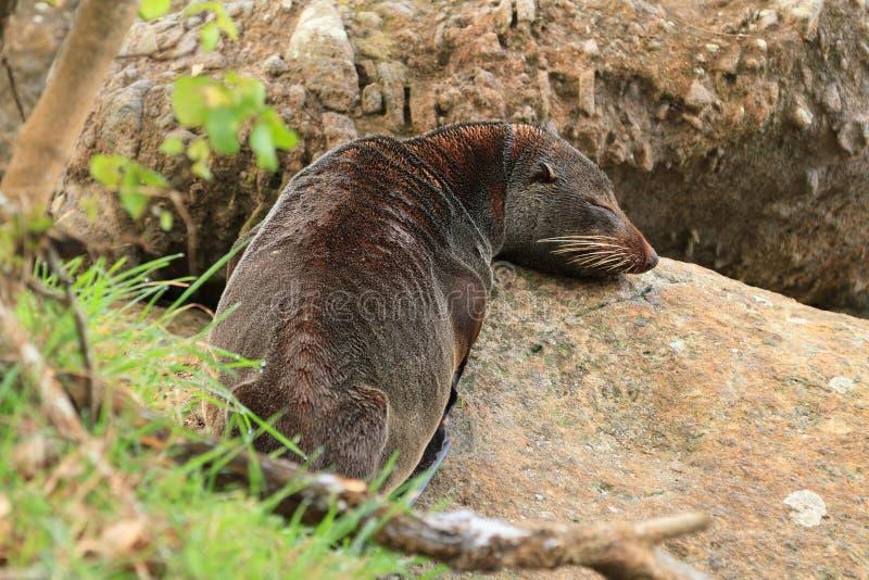 Морской котик Новой Зеландии отдыхая на утесах стоковые фотографии rf