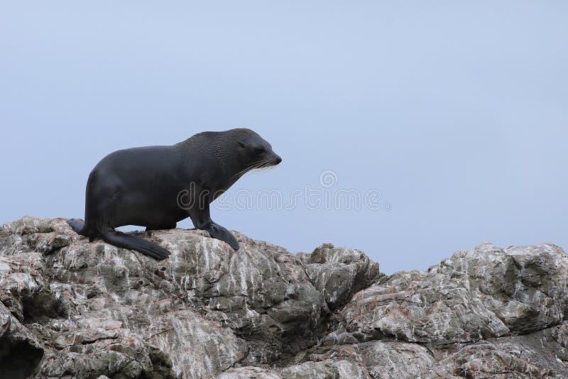 Морской котик Новой Зеландии, forsteri котика стоковое изображение rf