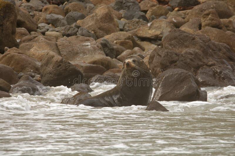 Морской котик Новой Зеландии - forsteri котика - kekeno лежа на скалистом пляже в заливе в Новой Зеландии стоковое фото rf