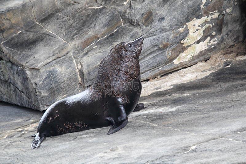 Морской котик Новой Зеландии (котик Forsteri) стоковое изображение