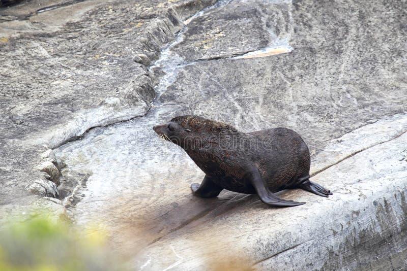 Морской котик Новой Зеландии (котик Forsteri) стоковое фото