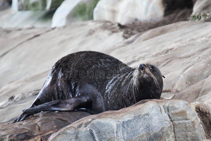 Морской котик Новой Зеландии (котик Forsteri) стоковая фотография