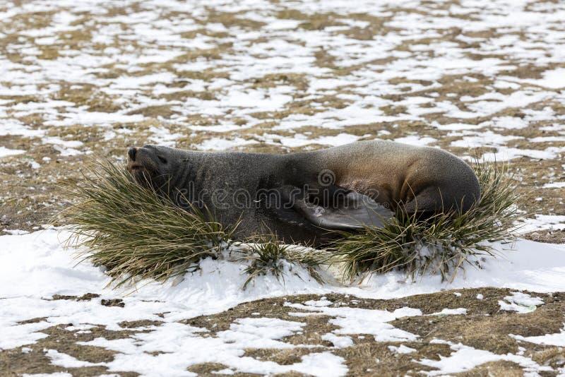 Морской котик отдыхает на вихоре травы на равнине Солсбери на Южной Георгие стоковые изображения