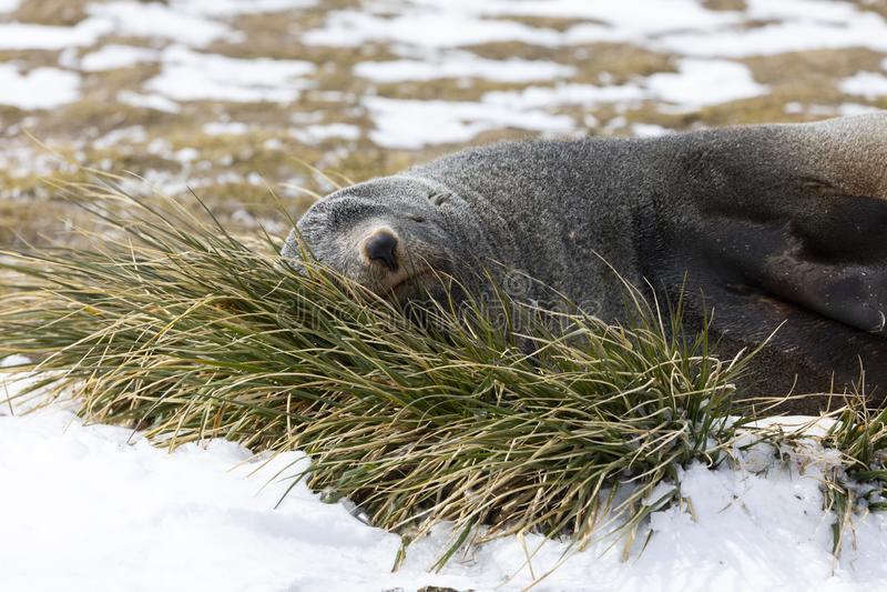 Морской котик отдыхает на вихоре травы на равнине Солсбери на Южной Георгие стоковые изображения rf