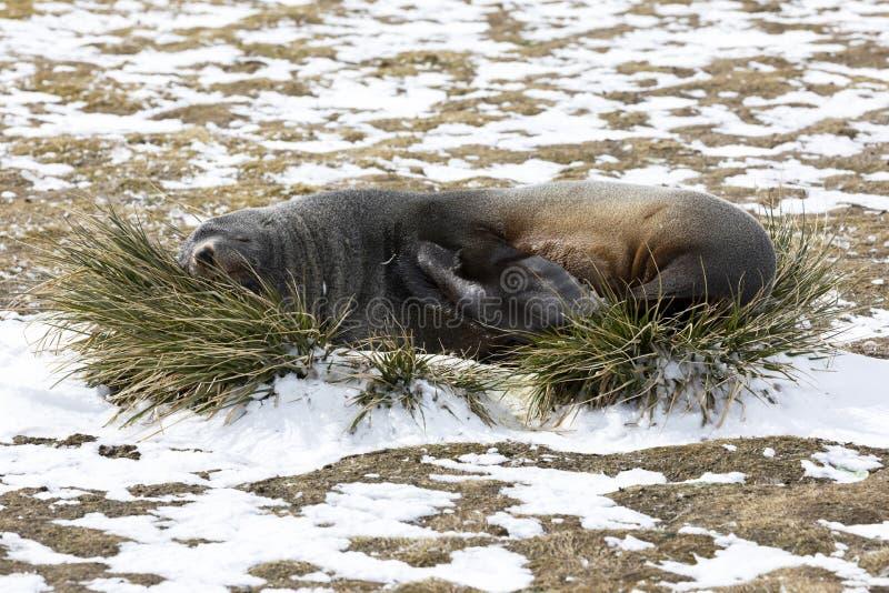 Морской котик отдыхает на вихоре травы на равнине Солсбери на Южной Георгие стоковые фотографии rf