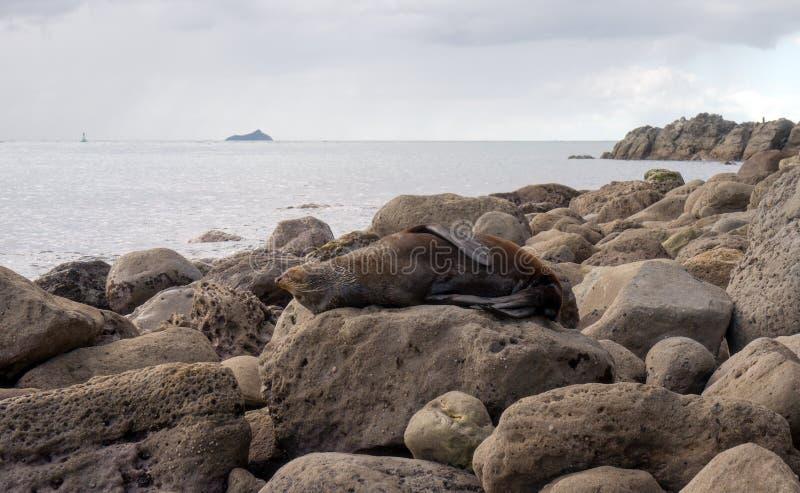 Морской котик отдыхая на большом утесе стоковые изображения