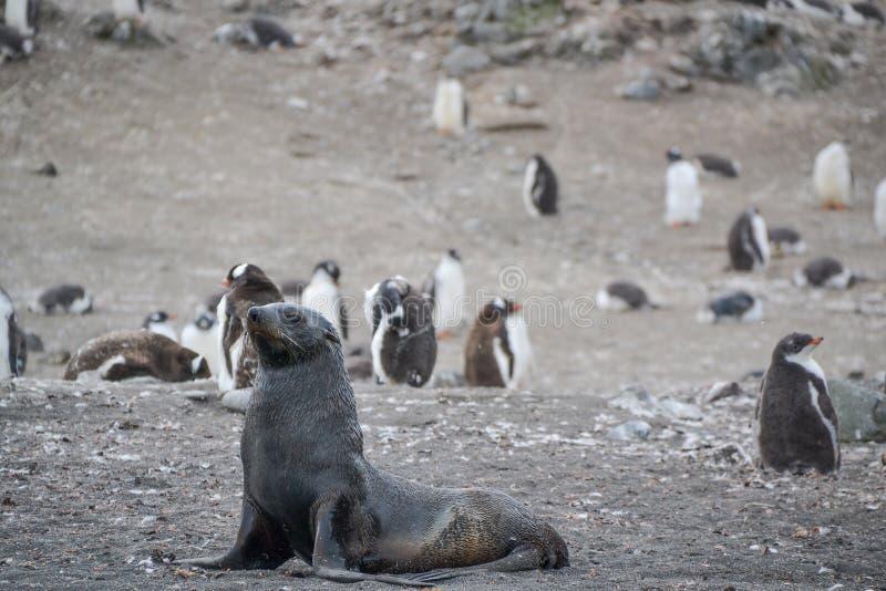 Морской лев на патруле пляжа стоковые изображения
