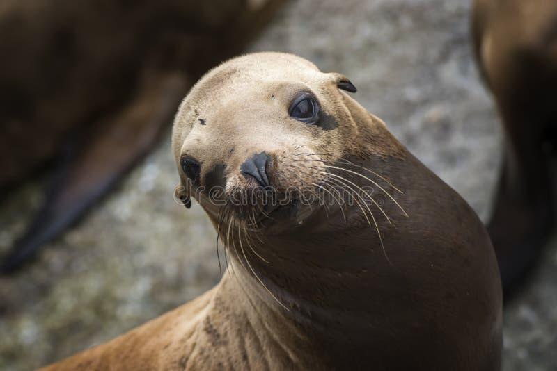 Морской лев смотрит камеру с большими глазами и вискерами Брауна стоковые изображения rf