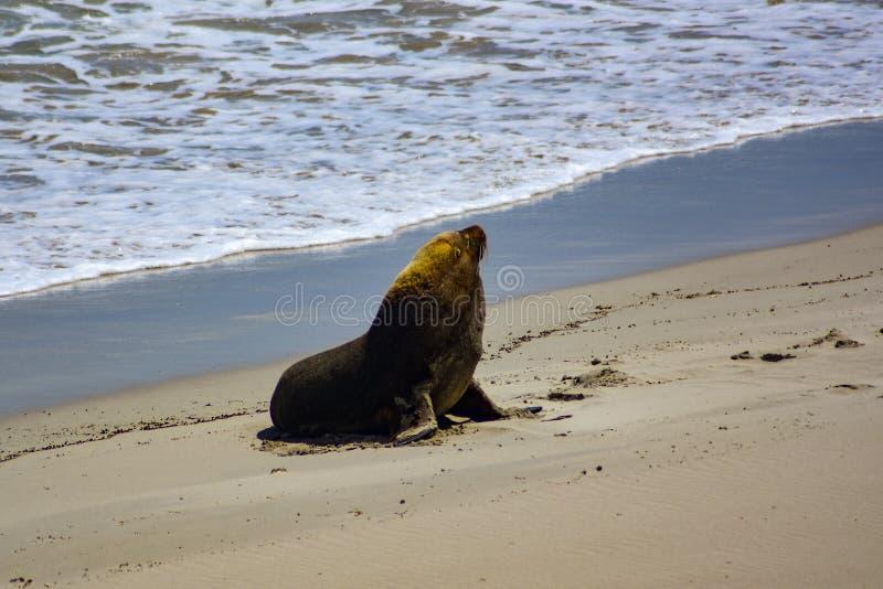 Морской лев Bull австралийский приходя на берег стоковая фотография