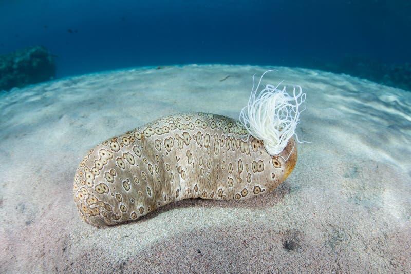 Морской огурец и Tubules Cuvierian стоковые фотографии rf