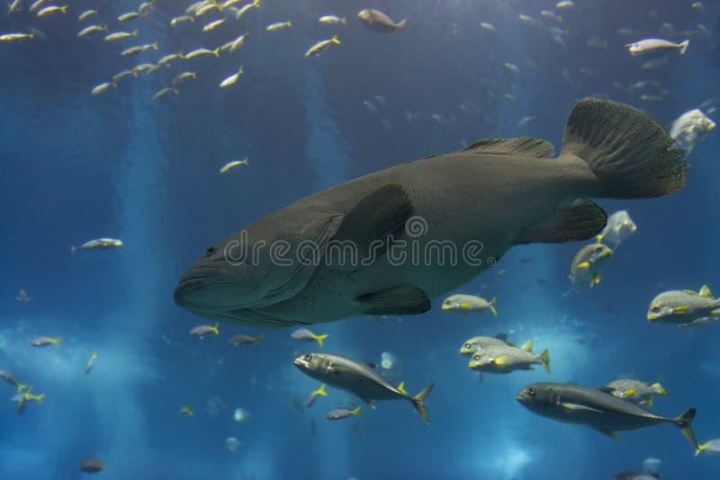 Морской окунь Голиафа стоковое изображение rf