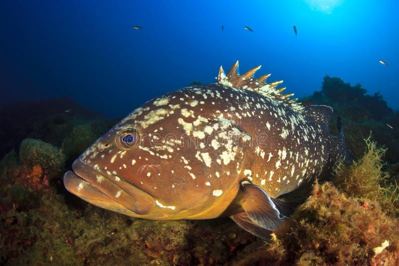 Морской окунь островов Medes стоковые фотографии rf
