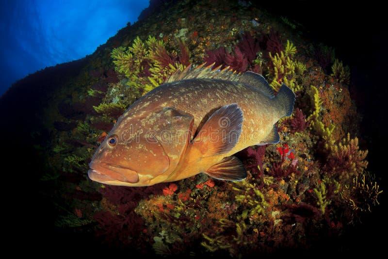 Морской окунь островов Medes стоковые изображения rf