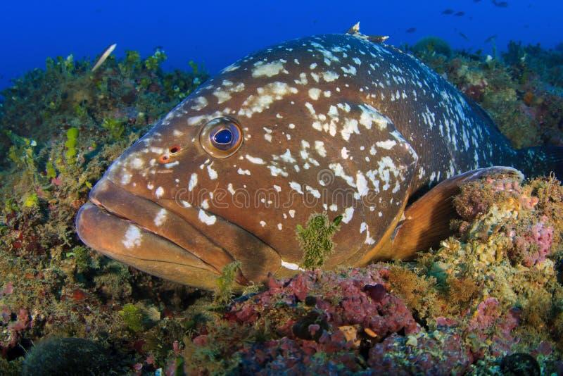 Морской окунь островов Medes стоковое фото rf