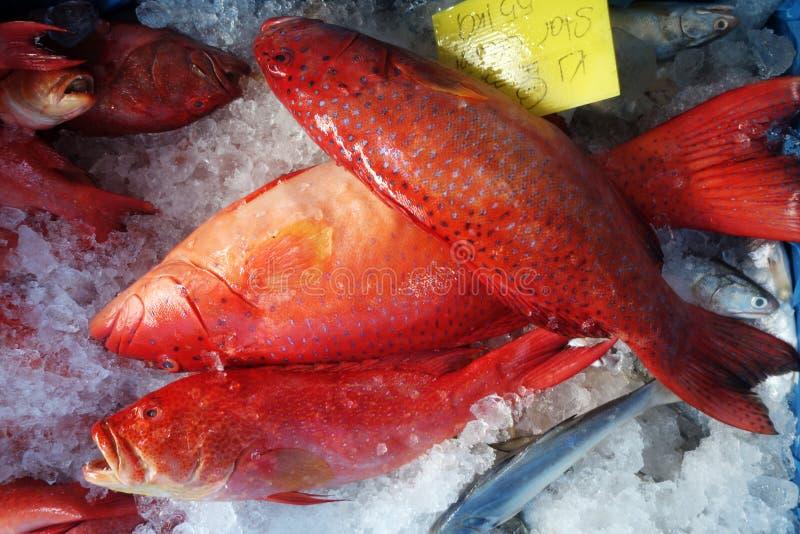 Морской окунь Blacktip или соединенный красным цветом морской окунь стоковое изображение rf