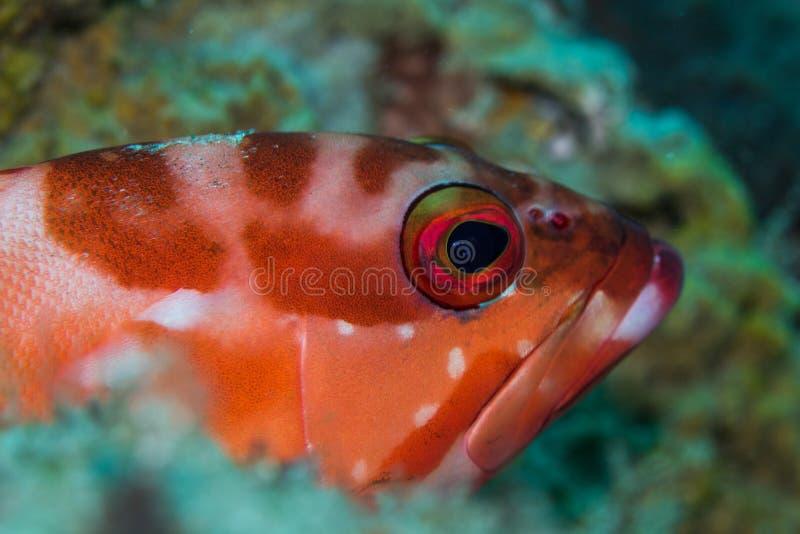 Морской окунь Redbarred Rockcod Blacktip кладя на риф стоковое фото