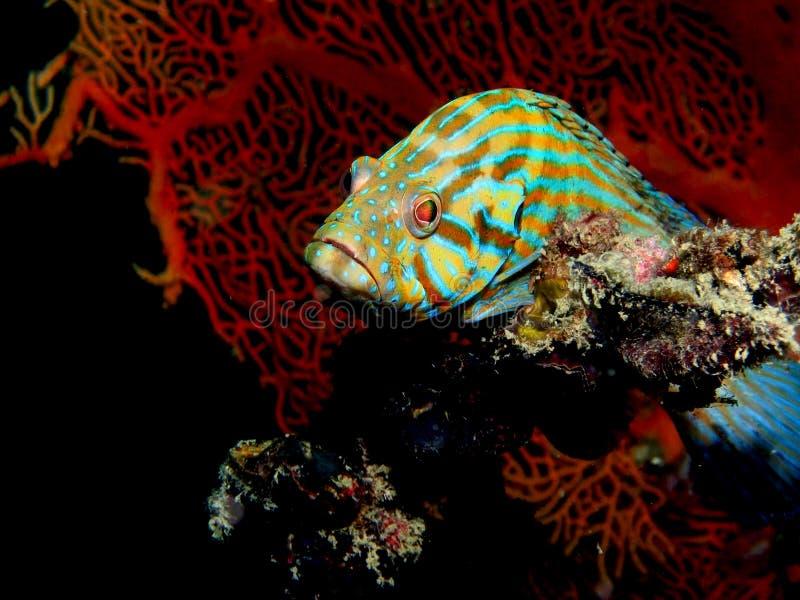морской пехотинец grouper стоковая фотография
