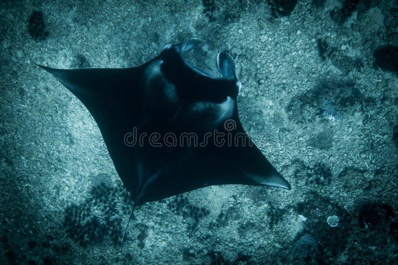 Морской дьявол на этап manta стоковые изображения rf