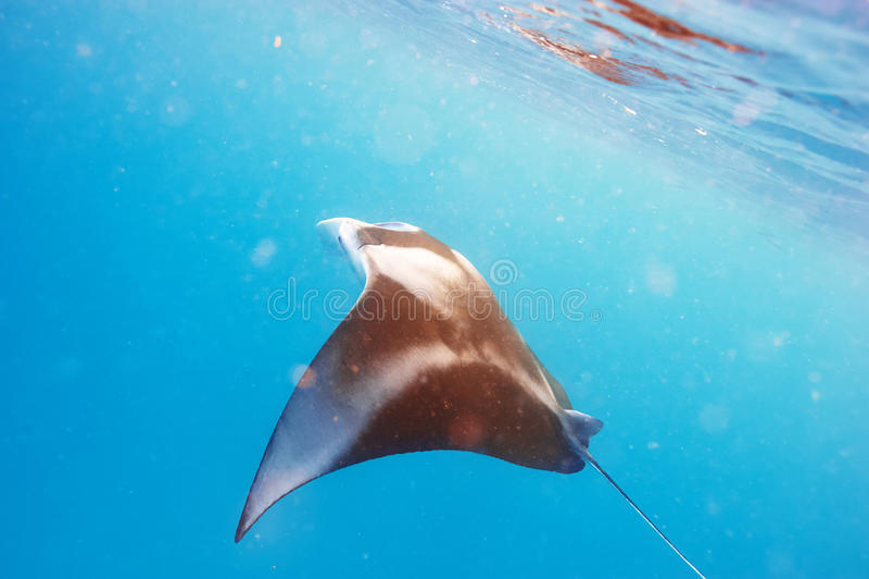 Морской дьявол плавая под водой стоковые изображения