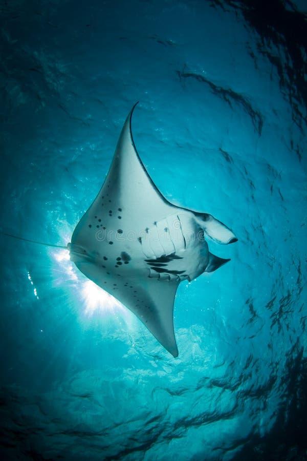 Морской дьявол - Manta Alfredi стоковая фотография rf