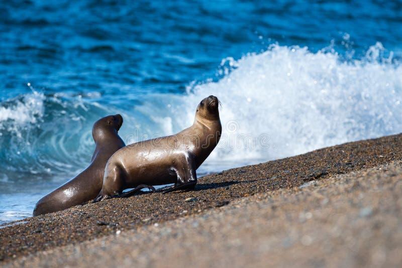 Морсой лев на пляже в конце Патагонии вверх по детали стоковые изображения rf