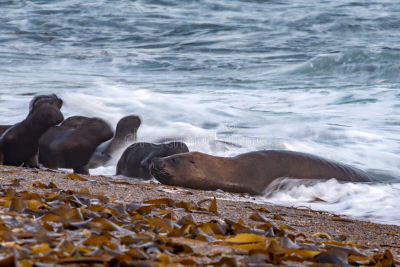 Морсой лев на влиянии движения нерезкости пляжа стоковая фотография