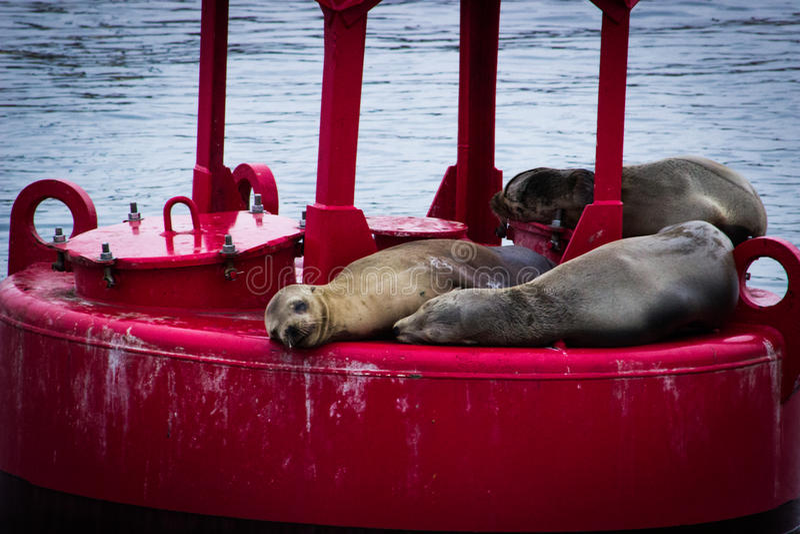 Морсые львы на красном томбуе в океане затаивают стоковые фотографии rf