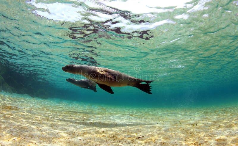Морсые львы плавая под водой стоковые изображения rf