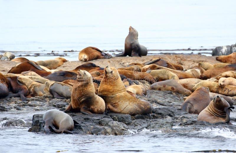 Морсые львы Steller отдыхая на утесе, запасе утеса гонки морском, Виктории, b C , Канада стоковое изображение