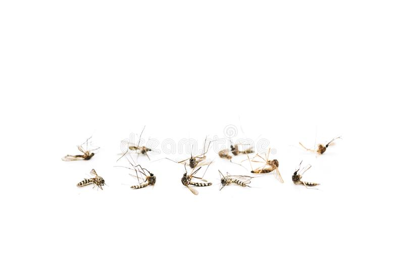 Москиты на белой предпосылке Оно причина много заболевание как малярия, желтая лихорадка, и тропическая лихорадка стоковая фотография rf