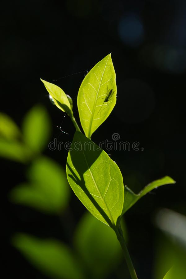 Москит на просвечивающих зеленых лист против backlight стоковые изображения