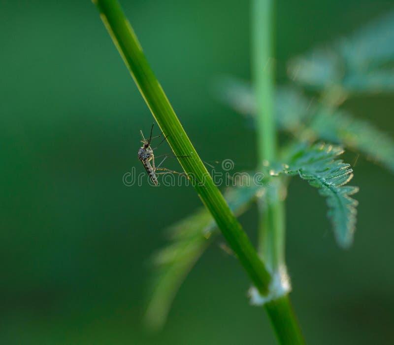 Москит отдыхая под зелеными лист стоковые изображения rf