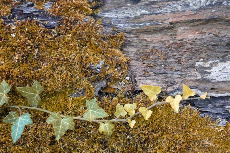 Мосс и Айви на поверхности дерева стоковое изображение rf