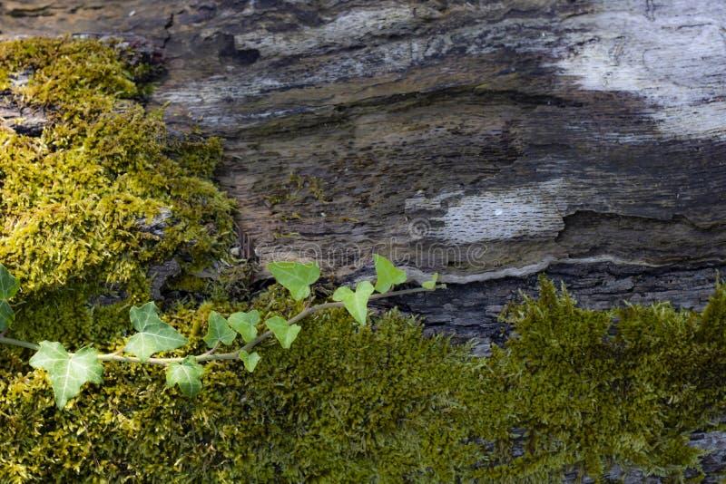 Мосс и Айви на поверхности дерева стоковое фото rf