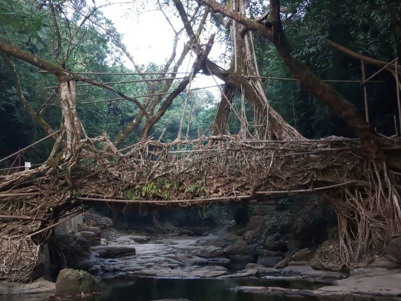 Мост корня в shillong боги имеют назначение стоковые изображения rf